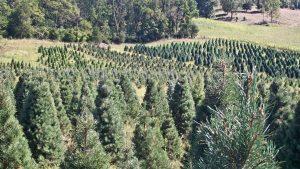 Evergreen Christmas Tree Farm