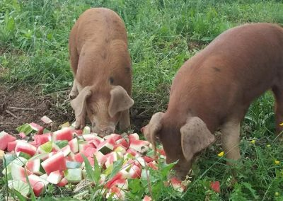 pigs eating watermelon