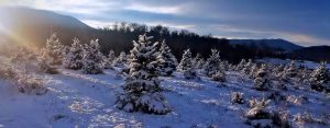 Header: Sunlight on snowy Christmas Trees - 1420x556