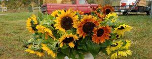 Sunflowers in bucket - 1420x556