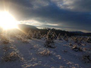 Sunlight on snowy Christmas Trees