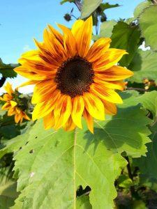 A tall cheery, yellow sunflower