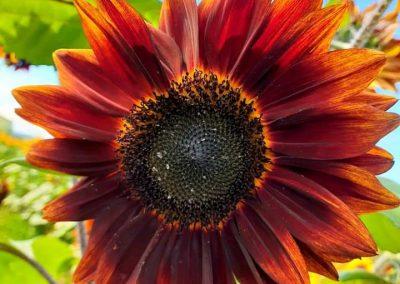 A beautiful rust colored sunflower