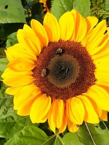 Two bees gather pollen from a bright sunflower