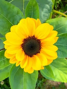 A bright yellow sunflower viewed from above